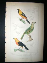 Cuvier C1835 Antique Hand Col Bird Print. The Black Lcterus etc, 38