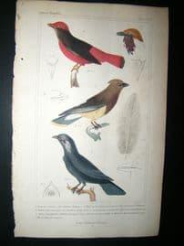 Cuvier C1835 Antique Hand Col Bird Print. The Butcher Chatterer, African Crown Bird, Swallow Crown Bird, 18