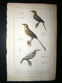 Cuvier C1835 Antique Hand Col Bird Print. Thrush Billed Nuthatch, Tessellated Nuthatch, European Nuthatch, 27