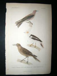 Cuvier C1835 Antique Hand Col Bird Print. Vaill, Shaw, Temm,13
