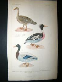 Cuvier C1835 Antique Hand Col Bird Print. Wild Goose, Red Breasted Merganser, Wild Mallard, 8