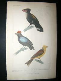 Cuvier C1835 Antique Hand Col Bird Print. Yellow Bunting etc, 22