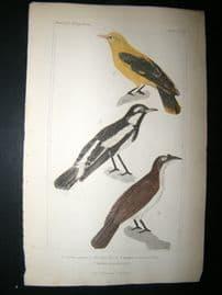 Cuvier C1835 Antique Hand Col Bird Print. Yellow Thrush etc, 21