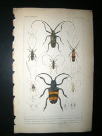 Cuvier C1835 Antique Hand Col Print. Acrocinus, Lamia, Tetraopes,55 Insects