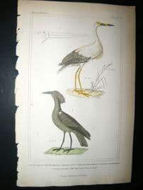 Cuvier C1835 Antique Hand Col Print. American Stark, The Jabiru, Umber-coloured Stark, 66