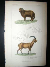 Cuvier C1835 Antique Hand Col Print. Argali Of Siberia, Wild Goat, 56