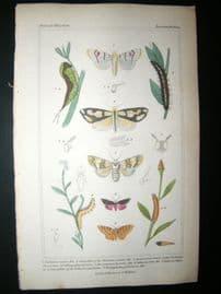 Cuvier C1835 Antique Hand Col Print. Chelonia, Caterpillar, Dicranoura 99 Moths