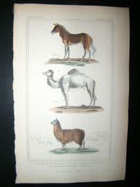 Cuvier C1835 Antique Hand Col Print. Couagga, Dromedary, Lama, 53