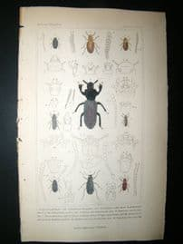Cuvier C1835 Antique Hand Col Print. Cryticus, Curticus, Orthocerns, 40 Insects