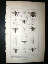 Cuvier C1835 Antique Hand Col Print. Cuterebra, Hypodemo, Myopa 112 Insects