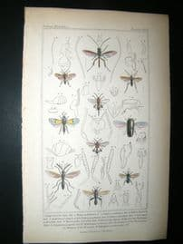 Cuvier C1835 Antique Hand Col Print. Cynips, Ibalia, Chaleis, 77 Insects