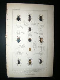 Cuvier C1835 Antique Hand Col Print. Diaperis, Hyppaphloenss, Eledona, 14 Insects