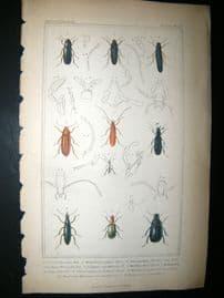 Cuvier C1835 Antique Hand Col Print. Dircaea, Serroplapus, Calapus, 43 Insects