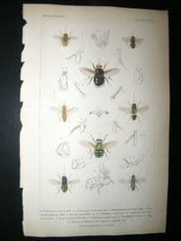 Cuvier C1835 Antique Hand Col Print. Echynomyia, Phasia 113 Insects