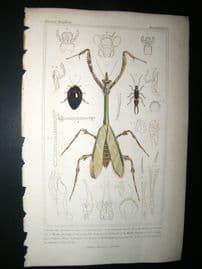 Cuvier C1835 Antique Hand Col Print. Forficula, Blatta, Empusa, 62Insects