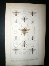Cuvier C1835 Antique Hand Col Print. Formica, Atta, Mutilla, 79 Insects