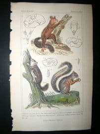 Cuvier C1835 Antique Hand Col Print. Golden Bellied Squirrel, American Flying Squirrel, 34