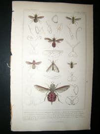 Cuvier C1835 Antique Hand Col Print. Hermetia, Acanthamera 109 Insects