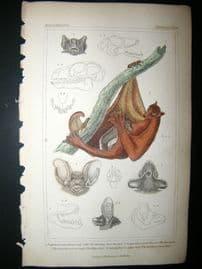Cuvier C1835 Antique Hand Col Print. Mauritius Horse Shoe Bat, The Pipistrelle, The Timer Bat, Lemur Bat,39