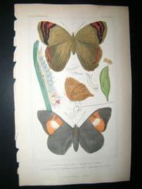 Cuvier C1835 Antique Hand Col Print. Pavonia, Morpha, Brassoils, 92  Butterflies