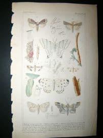Cuvier C1835 Antique Hand Col Print. Phalaena, Herminia, Batys 101 Moths