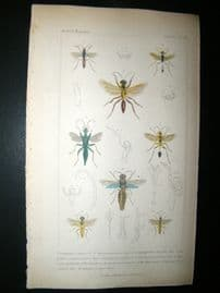 Cuvier C1835 Antique Hand Col Print. Pompilus, Sphex, Ammophilus, 80 Insects