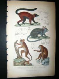 Cuvier C1835 Antique Hand Col Print. Red Lemur, Galago Senegal, Sloth of Bengal, 16