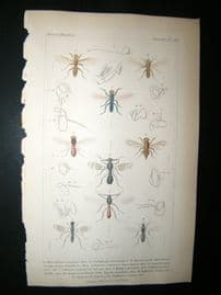 Cuvier C1835 Antique Hand Col Print. Scatophaga, Oseinis 114 Insects