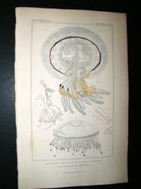 Cuvier C1835 Antique Hand Col Print. Sealife #15 Jellyfish