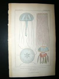 Cuvier C1835 Antique Hand Col Print. Sealife #16 Jellyfish