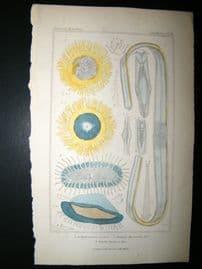 Cuvier C1835 Antique Hand Col Print. Sealife #18