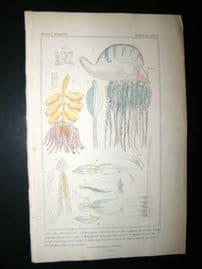Cuvier C1835 Antique Hand Col Print. Sealife #19