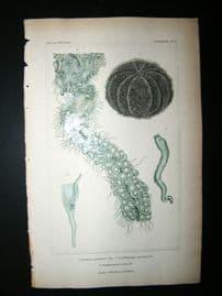 Cuvier C1835 Antique Hand Col Print. Sealife #2