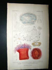 Cuvier C1835 Antique Hand Col Print. Sealife #20