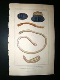 Cuvier C1835 Antique Hand Col Print. Sealife #5