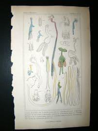 Cuvier C1835 Antique Hand Col Print. Sealife #9