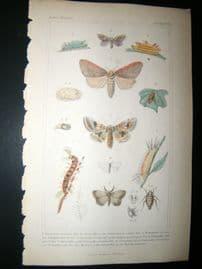 Cuvier C1835 Antique Hand Col Print. Sericora, Caterpillar, Notodonta 99 Moths