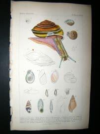 Cuvier C1835 Antique Hand Col Print. Shells #12 Shells,Sea Snail