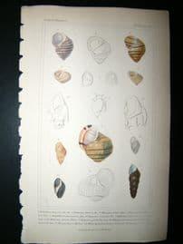 Cuvier C1835 Antique Hand Col Print. Shells #21