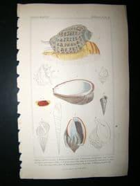 Cuvier C1835 Antique Hand Col Print. Shells #24A