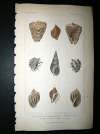 Cuvier C1835 Antique Hand Col Print. Shells #24B