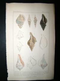 Cuvier C1835 Antique Hand Col Print. Shells #26