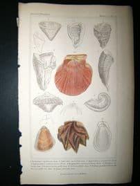 Cuvier C1835 Antique Hand Col Print. Shells #32