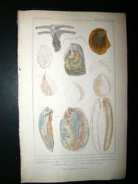 Cuvier C1835 Antique Hand Col Print. Shells #32A
