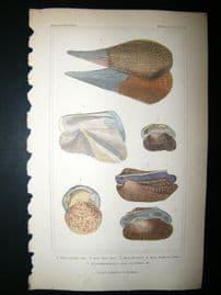 Cuvier C1835 Antique Hand Col Print. Shells #33
