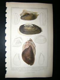 Cuvier C1835 Antique Hand Col Print. Shells #34