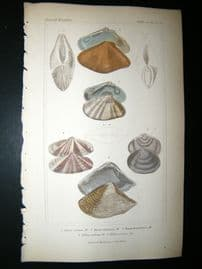 Cuvier C1835 Antique Hand Col Print. Shells #35A
