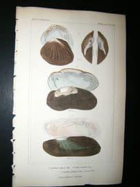 Cuvier C1835 Antique Hand Col Print. Shells #36A