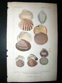 Cuvier C1835 Antique Hand Col Print. Shells #37