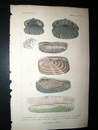 Cuvier C1835 Antique Hand Col Print. Shells #39
